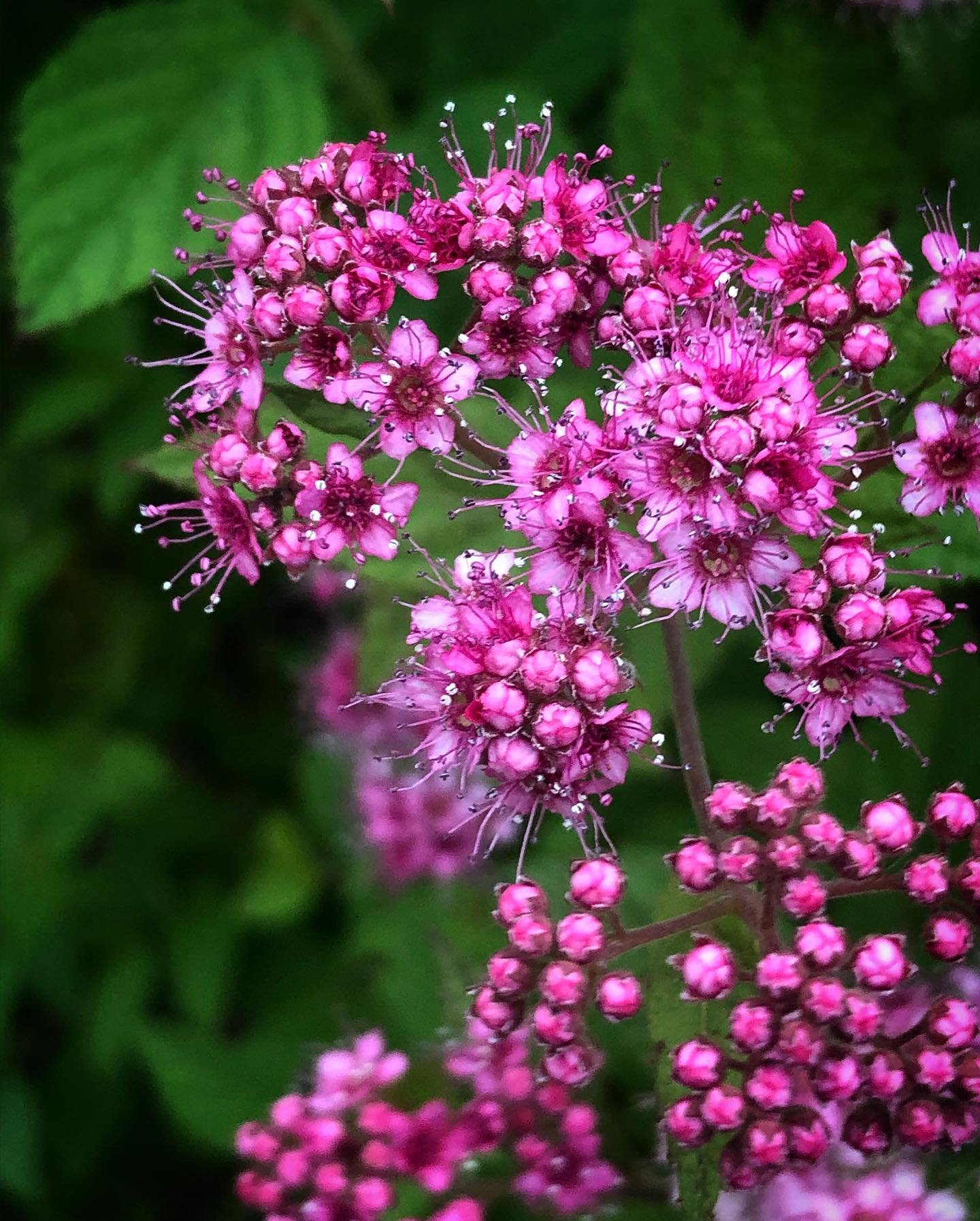 Spiraea japonica Lilly